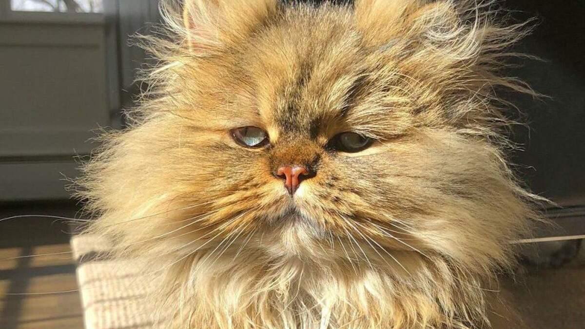 Персидський кіт, що виглядає так, ніби не випив ранкову каву