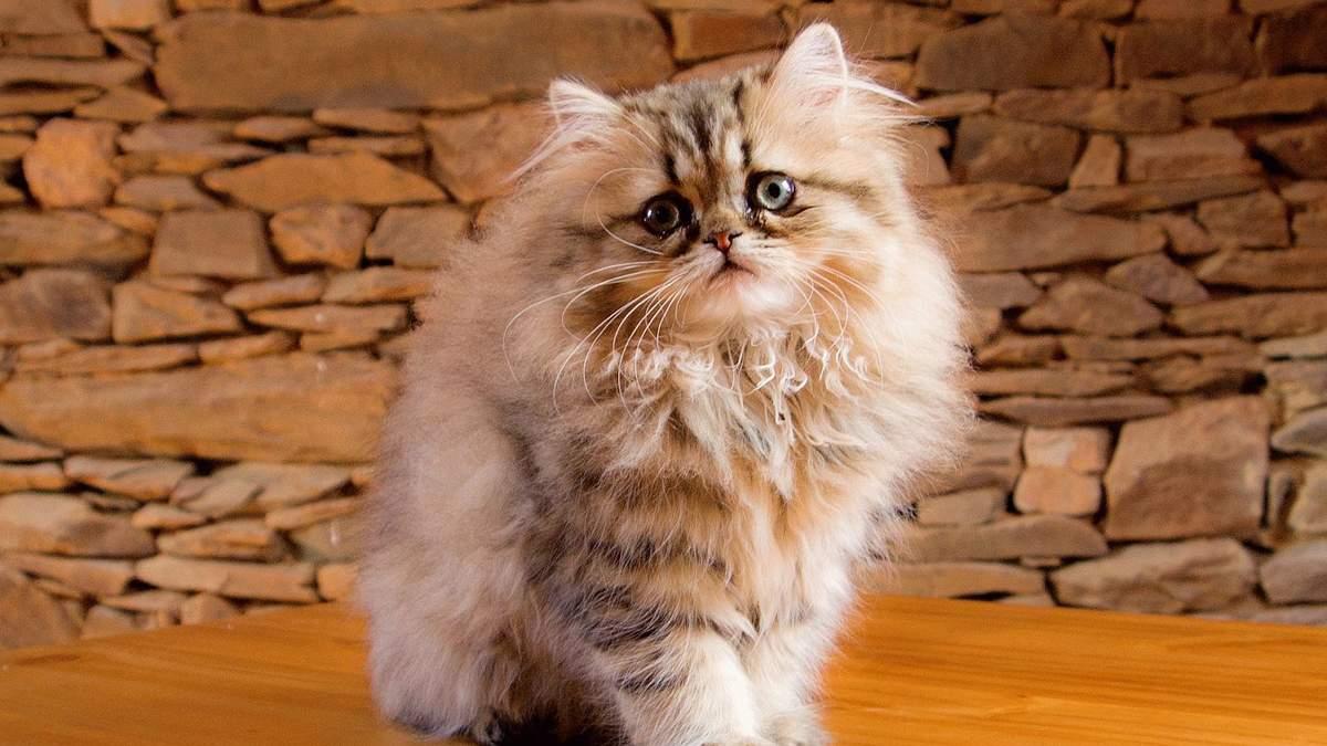 Коты с плоскими мордами живут с вечной гримасой боли – ученые