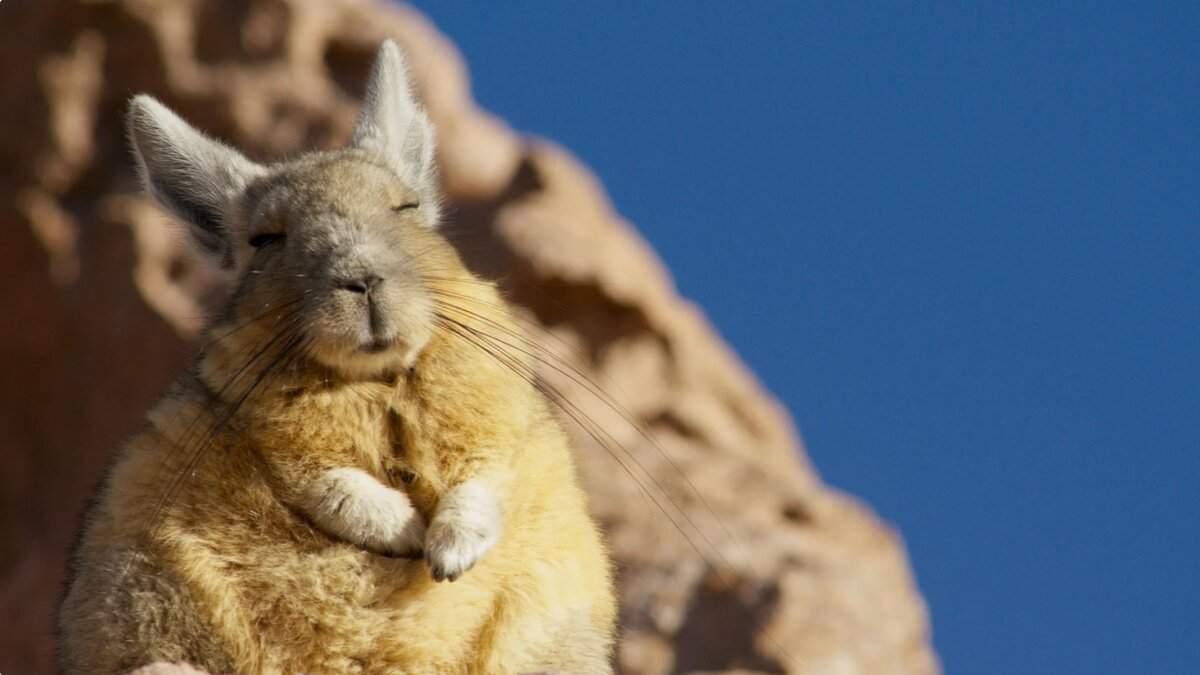 Недовольно жизнью: это малоизвестное животное выглядит постоянно сонным и печальным