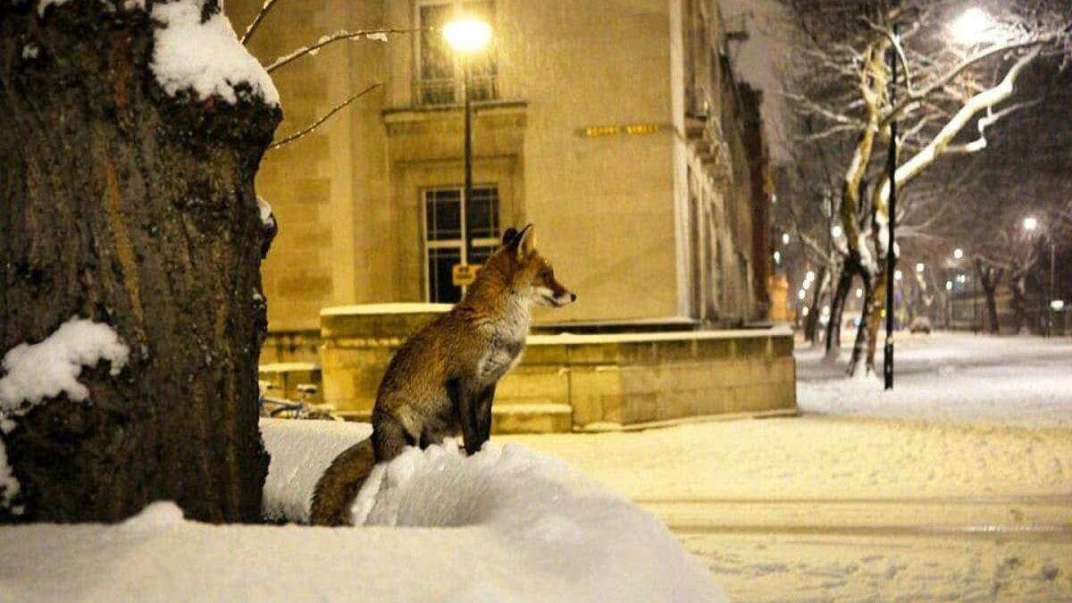 Несамовиті крики чути у Лондоні: чому лисиці лякають місцевих мешканців