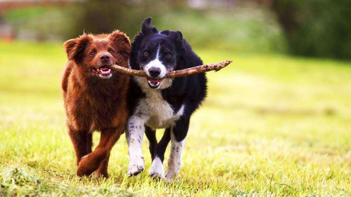 Актори без Оскара: собаки граються веселіше, коли на них дивиться господар – вчені