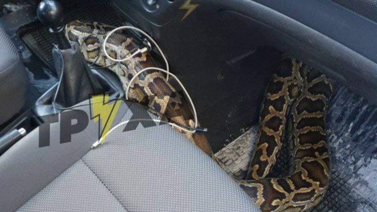 У Харкові змія каталася в таксі: серед поїздки з сумки несподівано виліз пітон