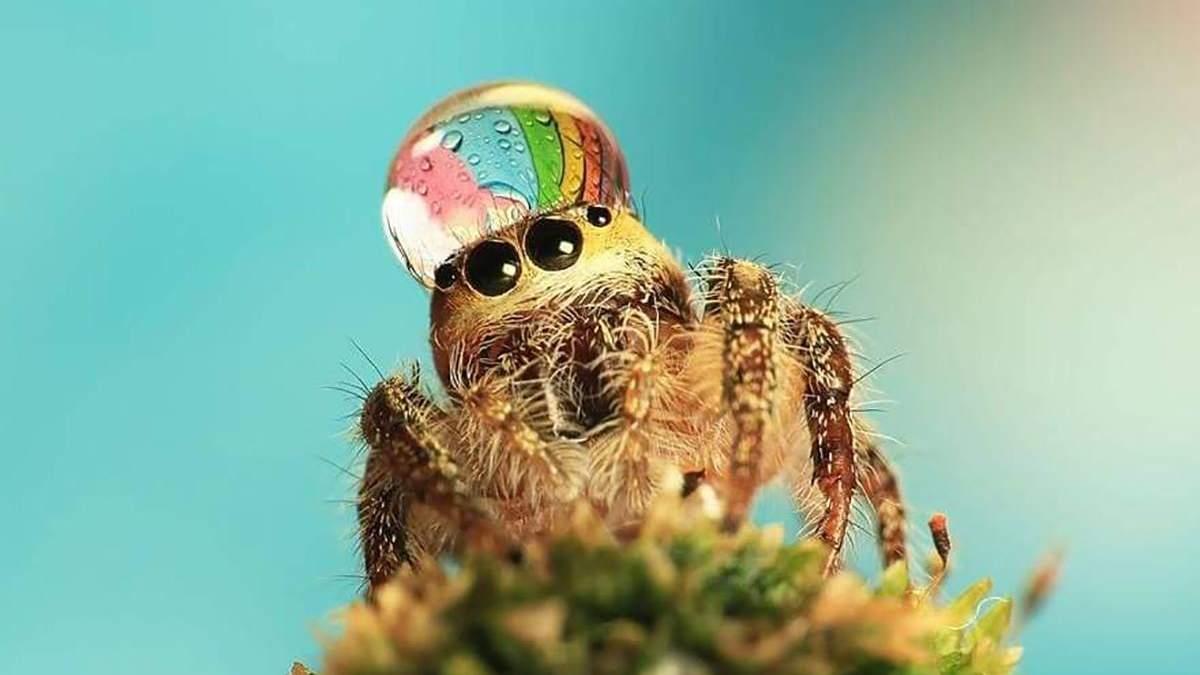 Крошечные пауки, которые носят каплю воды как шляпу: забавные фото