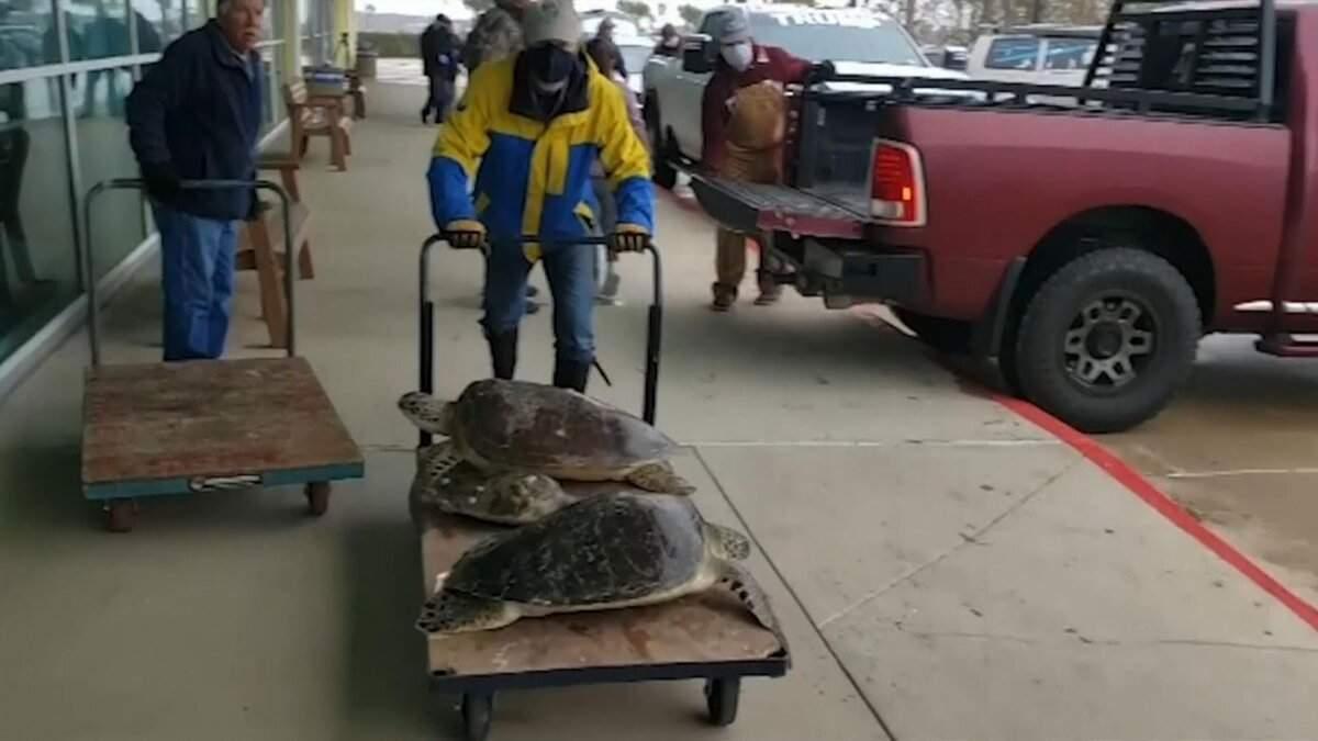 Аномальные морозы в Техасе: волонтеры спасают черепах