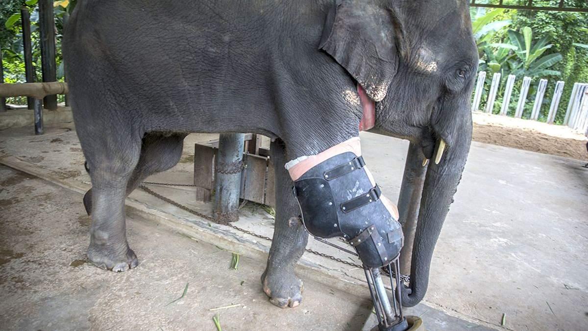 Перший в світі слон, якому протезували ногу: щемлива історія