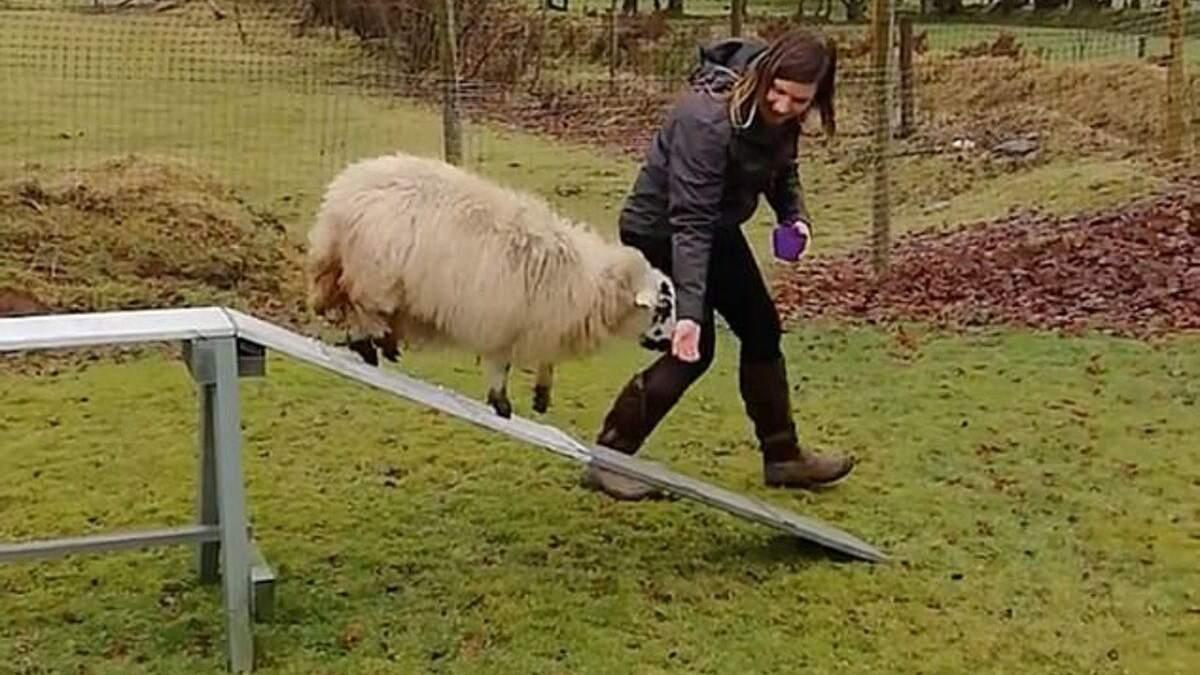 Овца ведет себя как собака: ее тренируют преодолевать барьеры