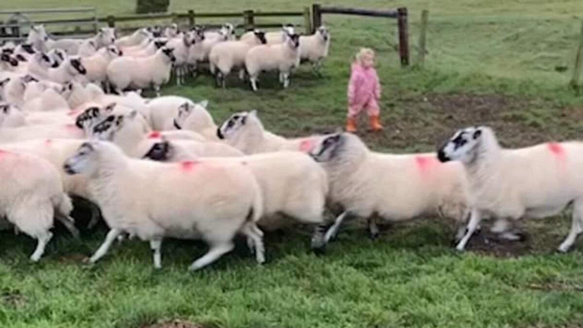 Талановита дівчинка: 2-річна дитина віртуозно заганяє стадо овець – відео