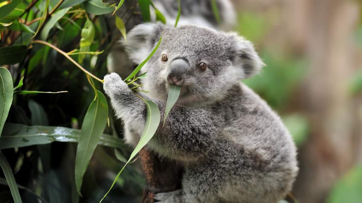 Спасли коалу: стоматолог из Австралии сделал протез ноги для милого животного