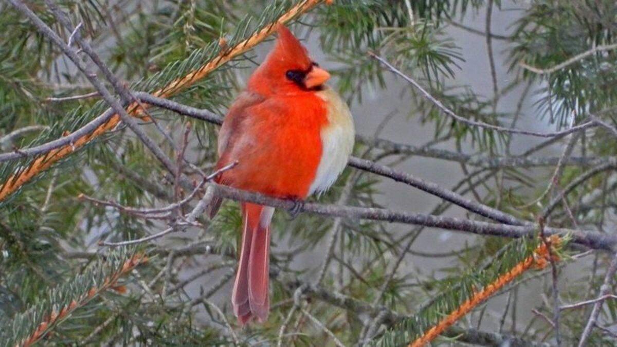 Напівсамець та напівсамка: рідкісного птаха знайшли в США
