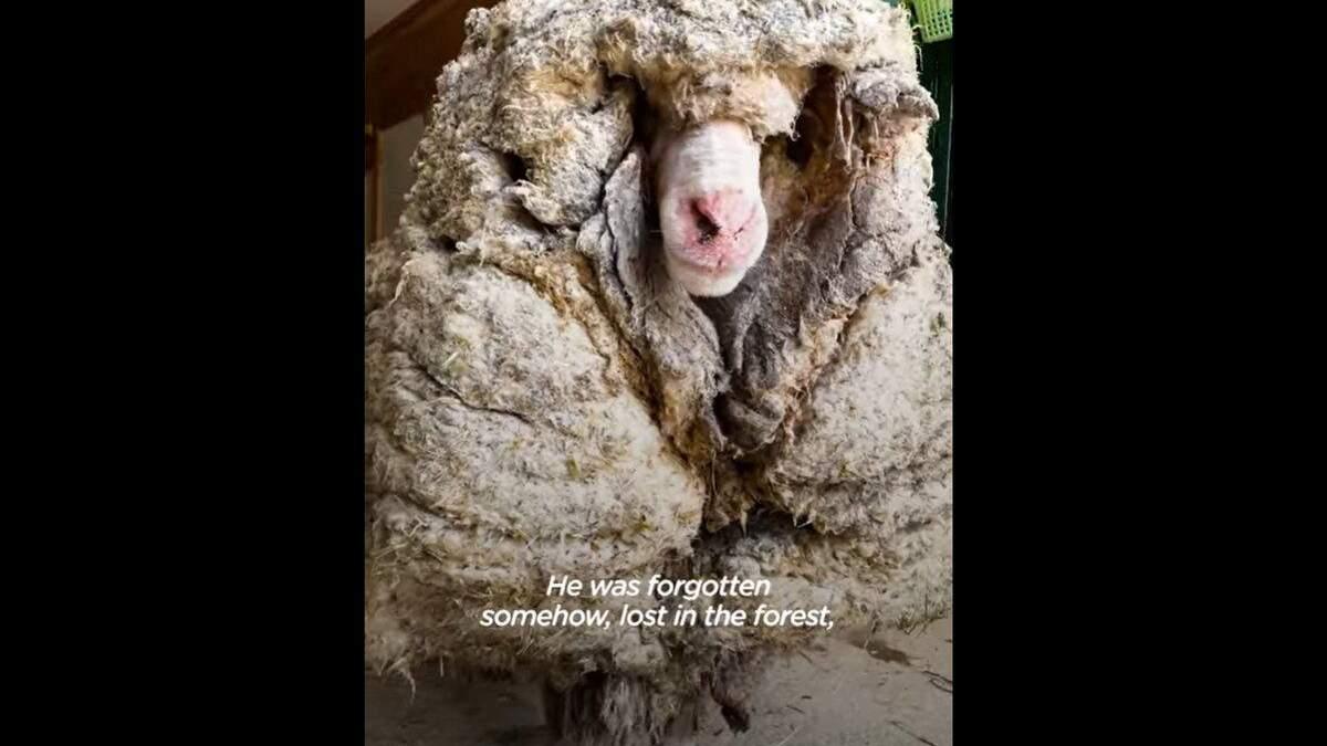 Гора шерсти: овца 5 лет блуждала по лесу и ее никто не стриг – видео