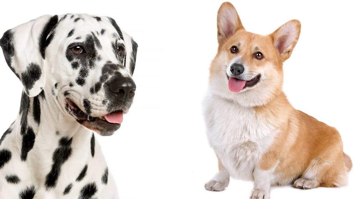 Вчені визначили найкрасивішу породу собак за допомогою золотого перетину: хто переміг