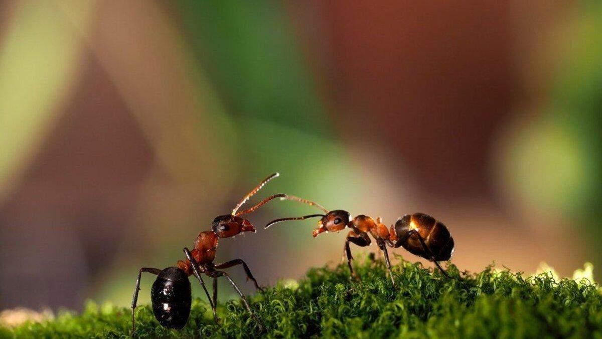 Як напередодні весни просушують мурашник
