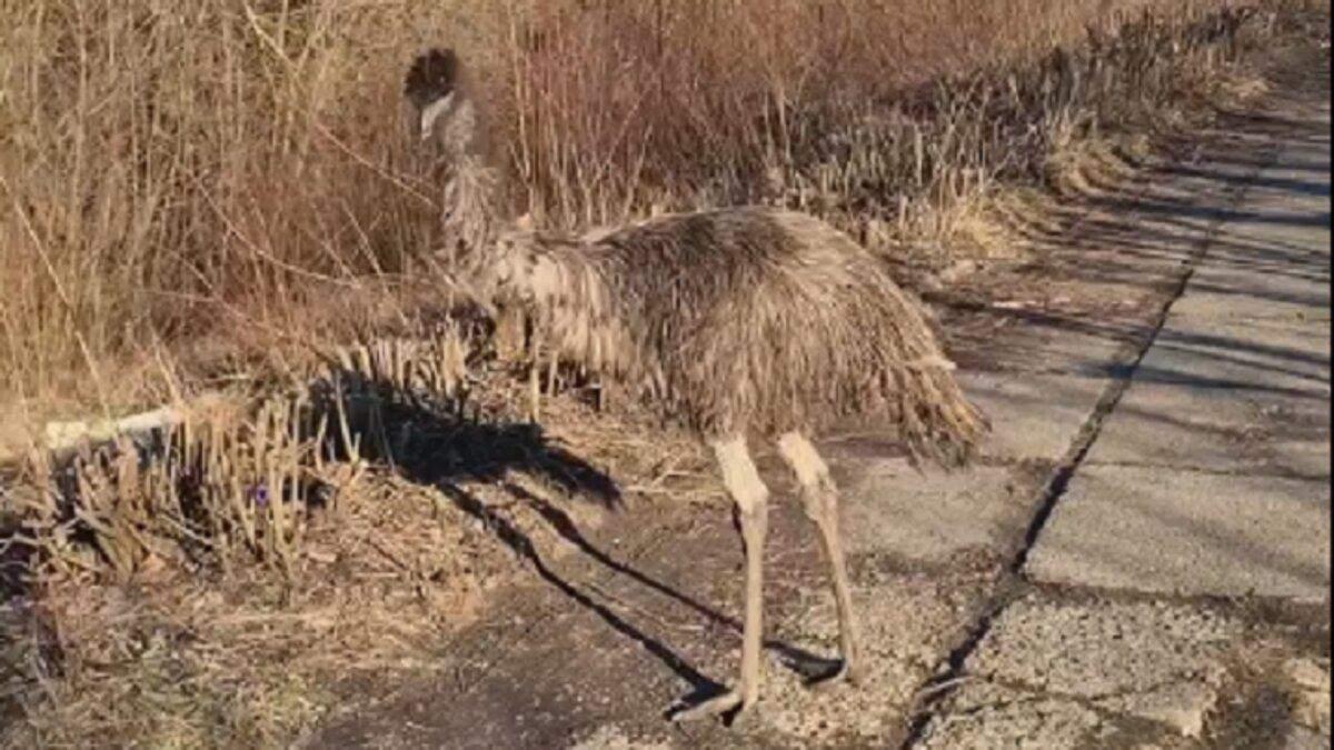 В Черновцах потеряли страуса: птица бродила возле реки и не боялась людей – видео