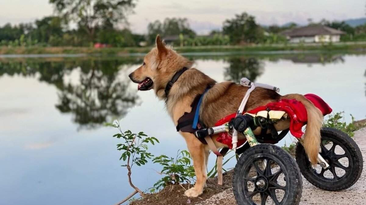 Притулок для собак з інвалідністю в Таїланді: зворушливі фото