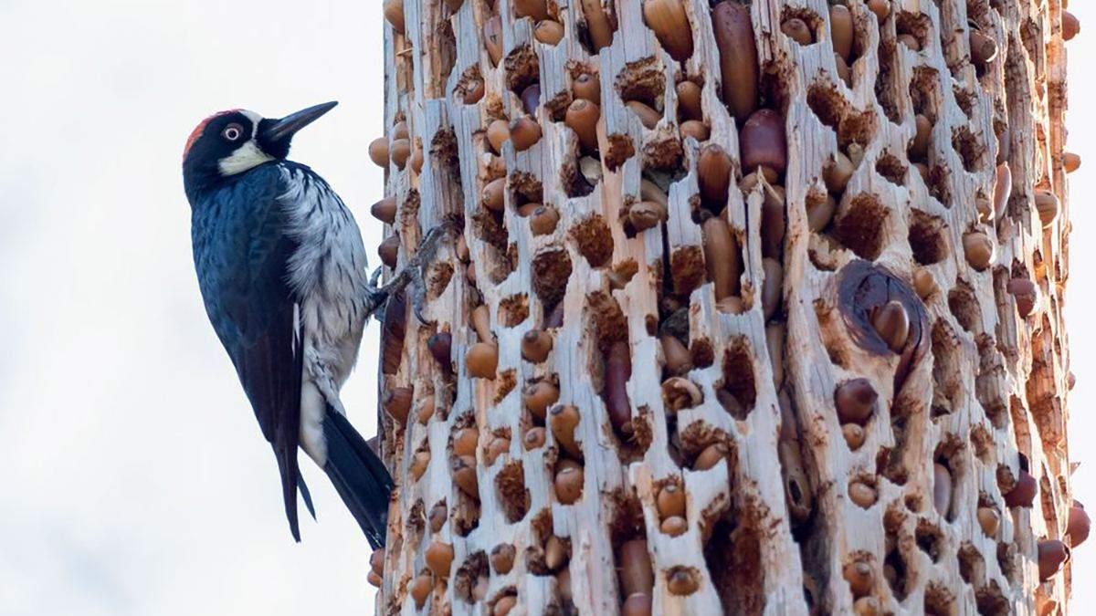 Как желудевый дятел превращает деревья на сито: фото