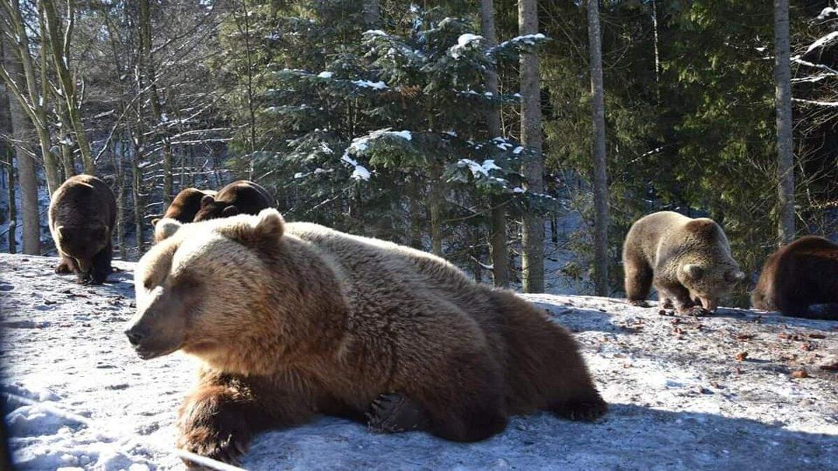 Медведи проснулись от зимней спячки в Синевире