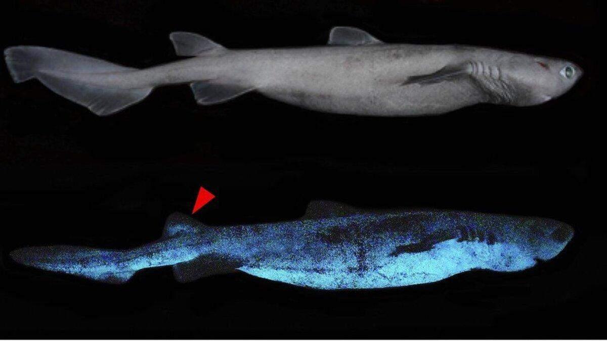 Світяться в темряві: біля Нової Зеландії знайшли дивовижних акул
