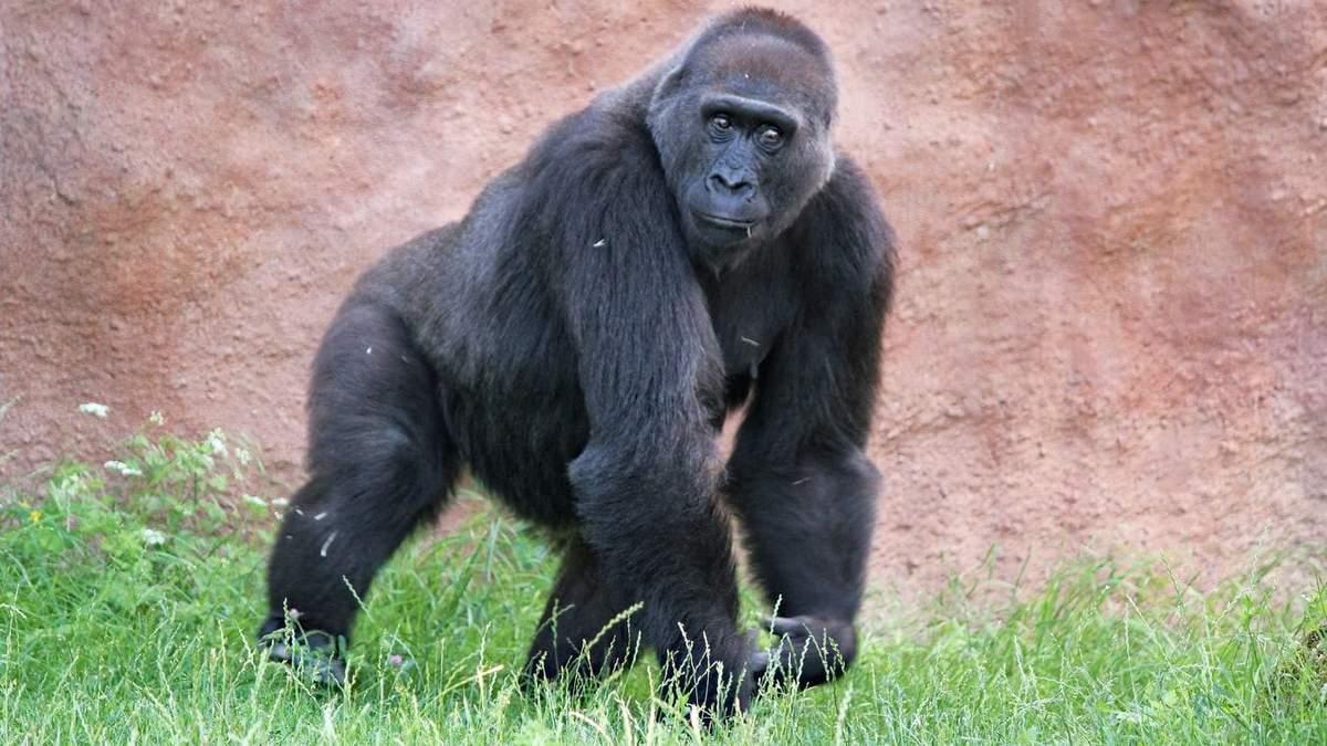 Вакцинировались: в США от коронавируса привили 9 обезьян