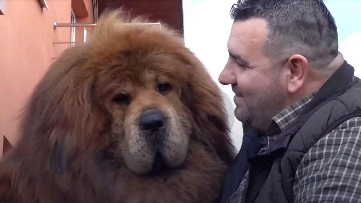 Собака-лев: де живе найкрасивіший у світі тибетський мастиф