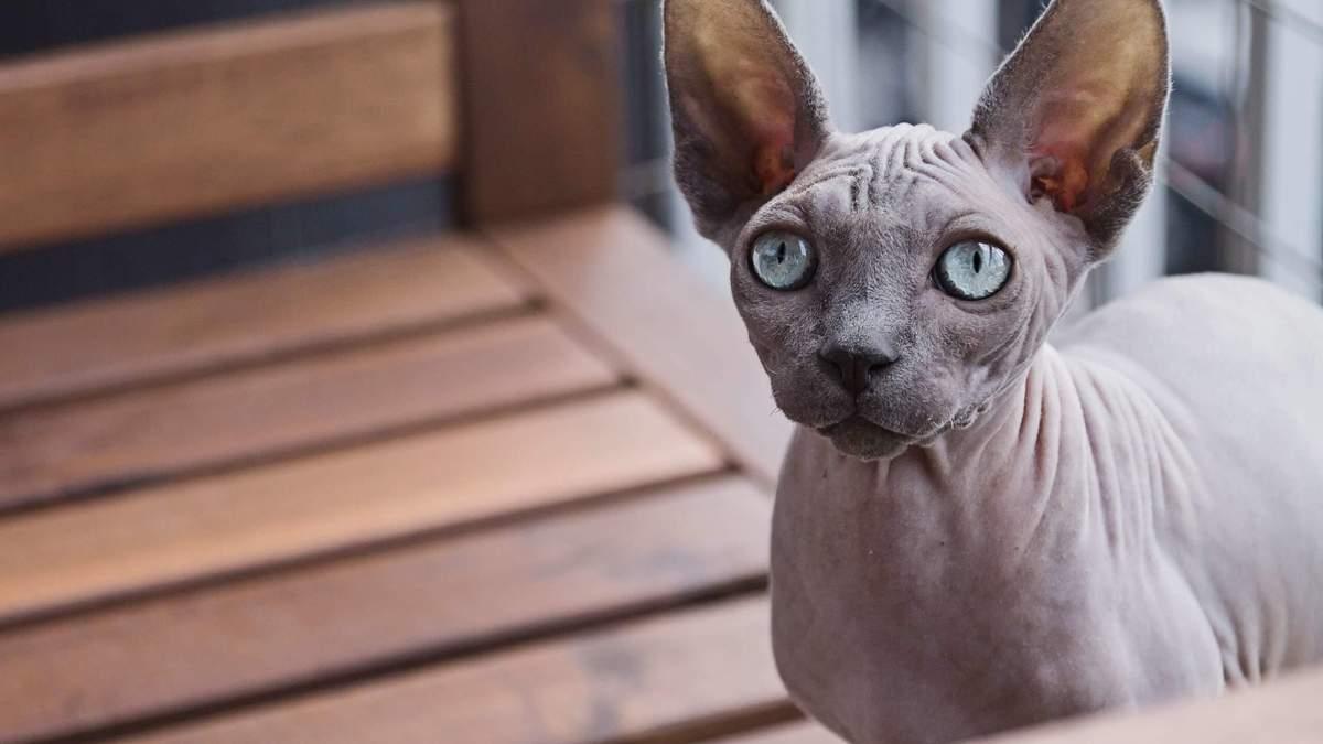 Кіт за ціною квартири: скільки коштують найдорожчі породи кішок у світі