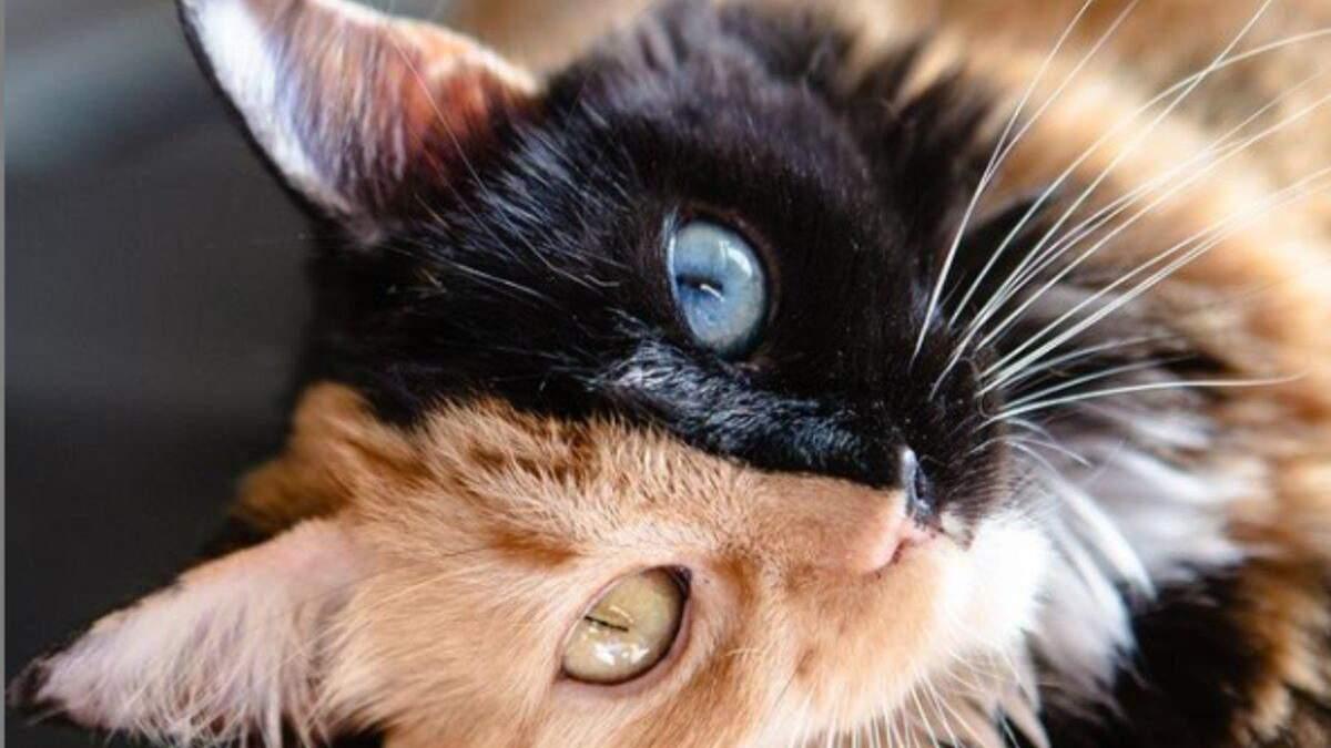 Дві кішки в тілі однієї: як виглядає рідкісна дволика тварина