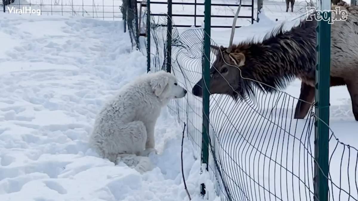 Стали друзьями: в США щенок получил поцелуй от лося – видео