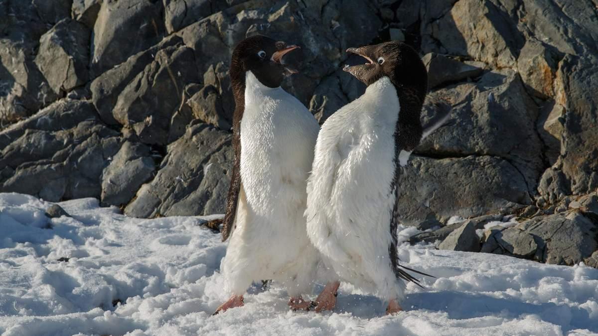 Разборки пингвинов Адели в Антарктиде: фото