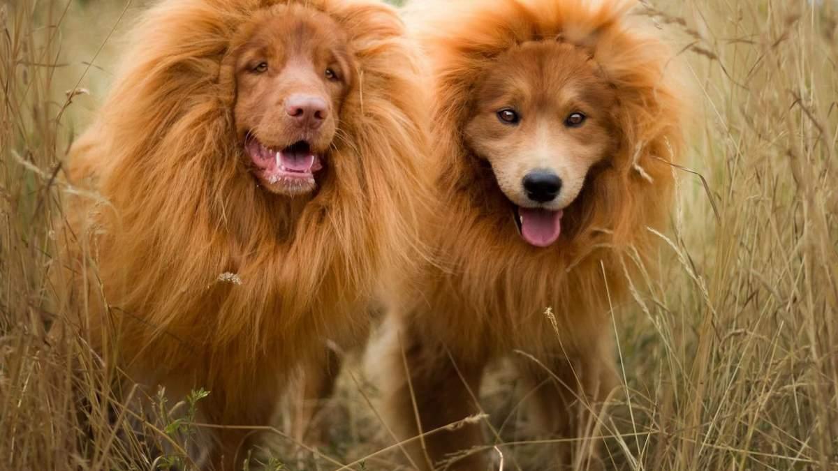 Курйозний обман: у китайському зоопарку замість лева показували собаку – відео