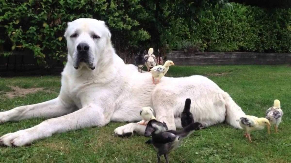 Собаки не для квартири: 23 популярні породи