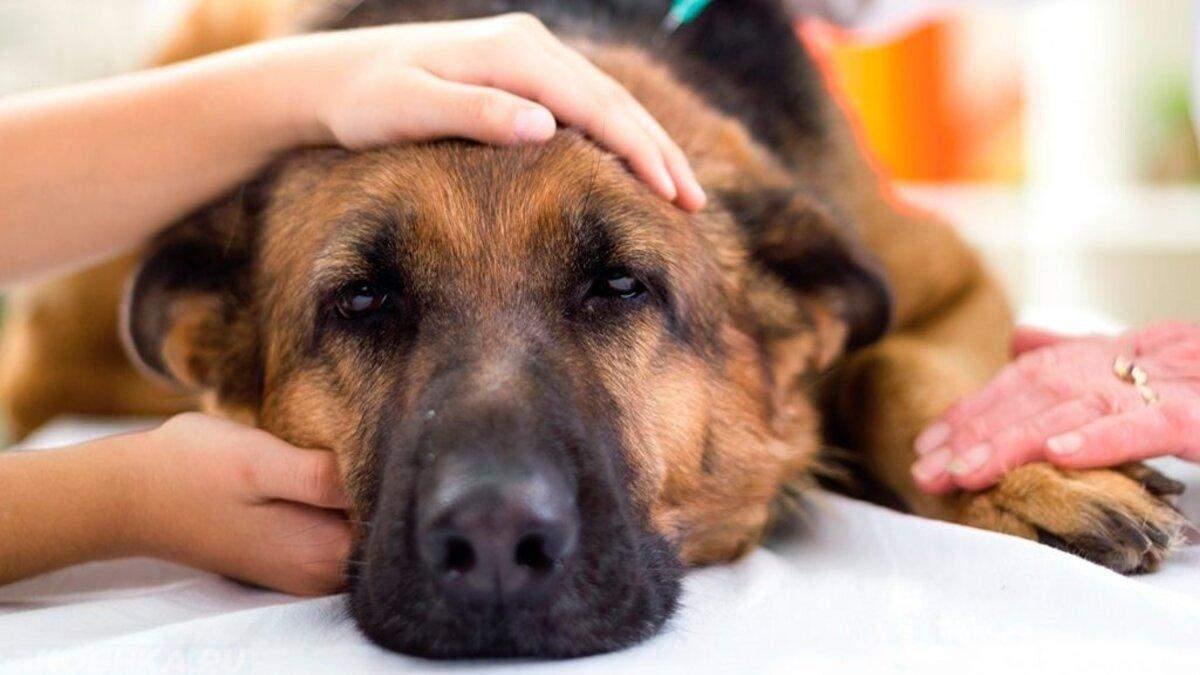 Що робити при отруєнні собаки: симптоми та перша допомога