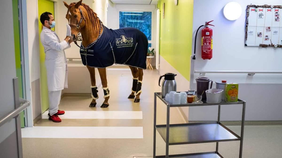 Доктор Пейо: конь, инстинктивно утешает больных и утоляет их боль