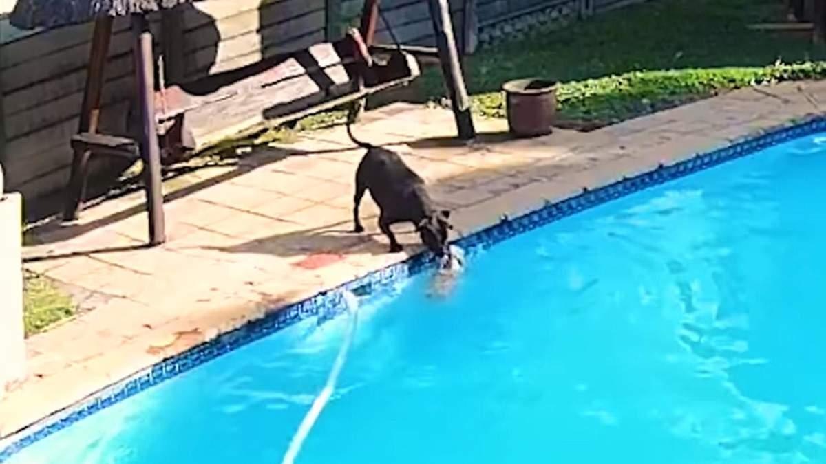 Чуть не утонул: грозный бойцовский пес спас своего друга из бассейна – щемящее видео