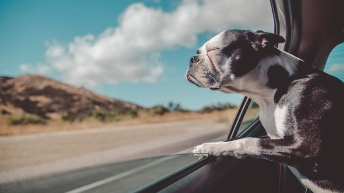 Як перевозити собак у машині: правила