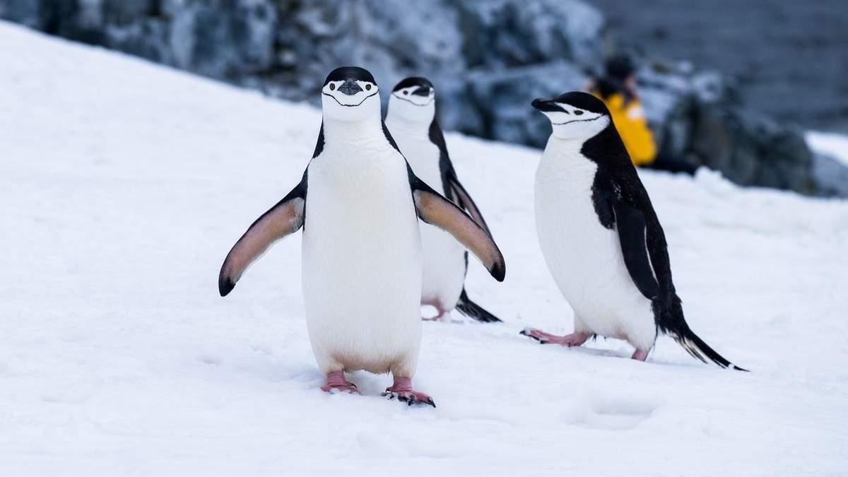 Всемирный день пингвинов: забавные фото от украинских полярников