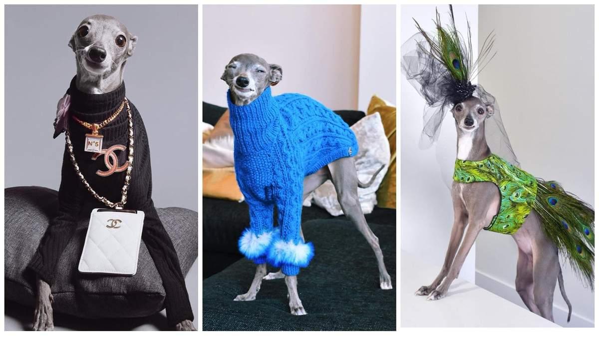 Отримує гроші за фотосесії і має власного агента: собака Тіка з Монреаля стала іконою стилю