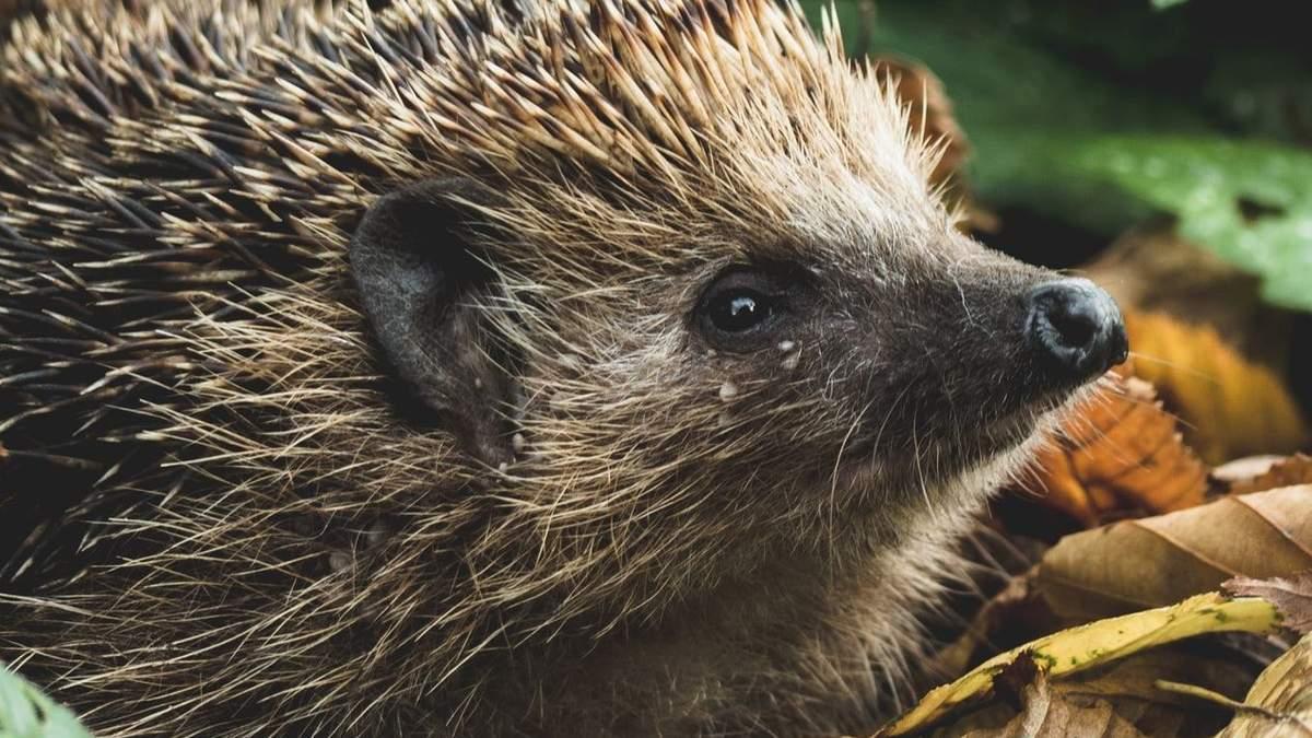 Сезон їжаків: що робити, якщо знайшли у лісі чи на городі колючу тваринку