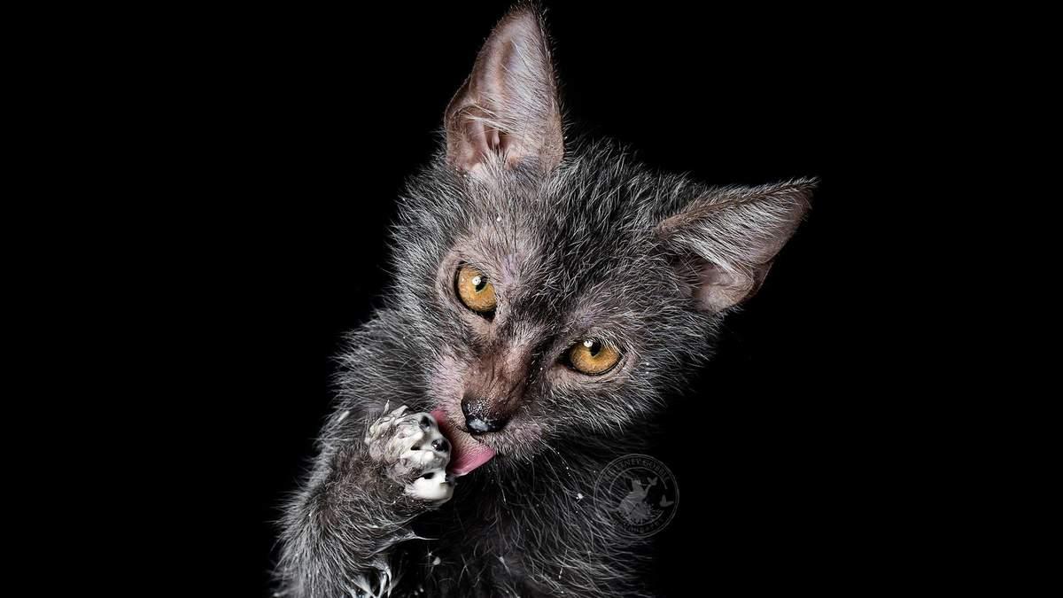 Ликой – порода котів: походження, характер і стандарт породи
