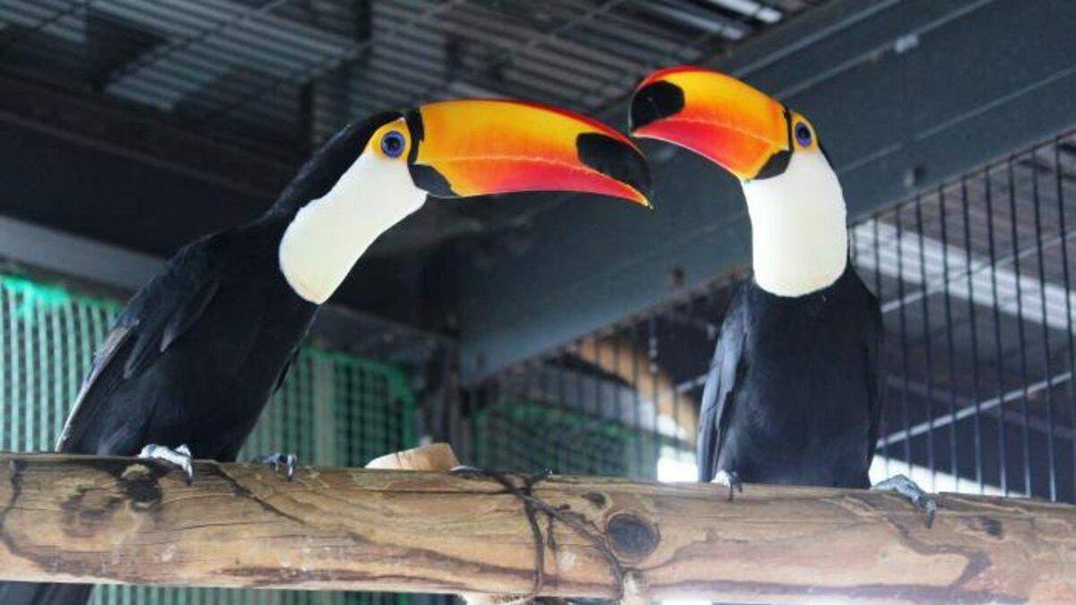 Пара туканів розчарувала японський зоопарк: що трапилося