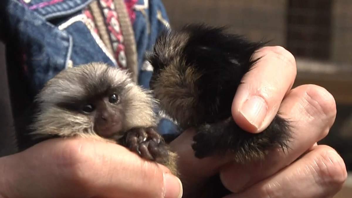 Двійня мавпенят та рідкісні тигри: у Бердянському зоопарку народилися нові звірі - фото
