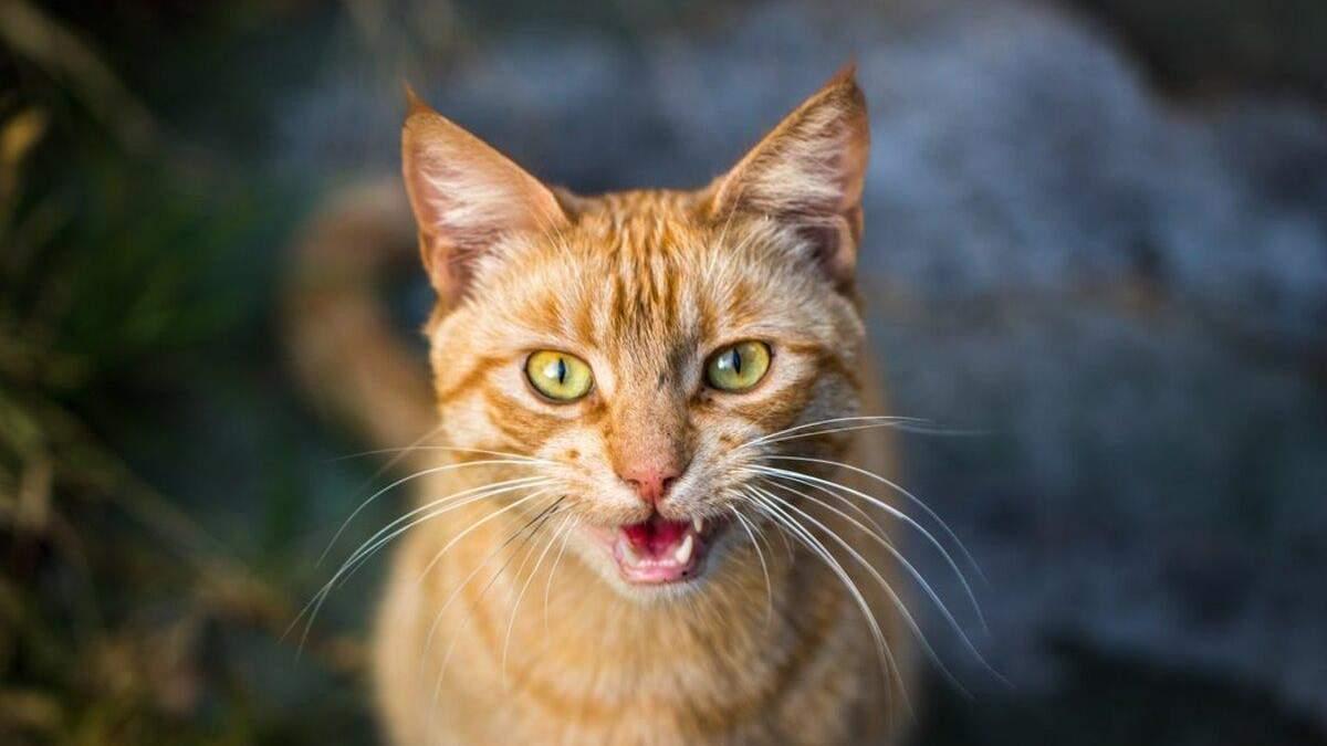 Навіщо коти роблять екеке: відео з маленькими хижаками