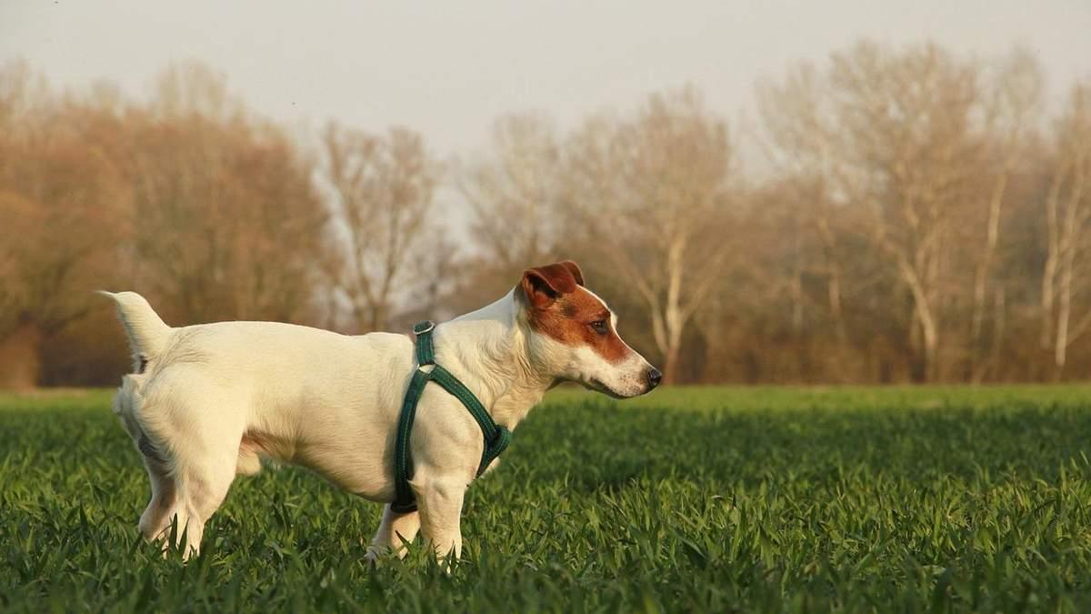 Джек-рассел-тер'єр: характер і походження собаки з кіно Маска