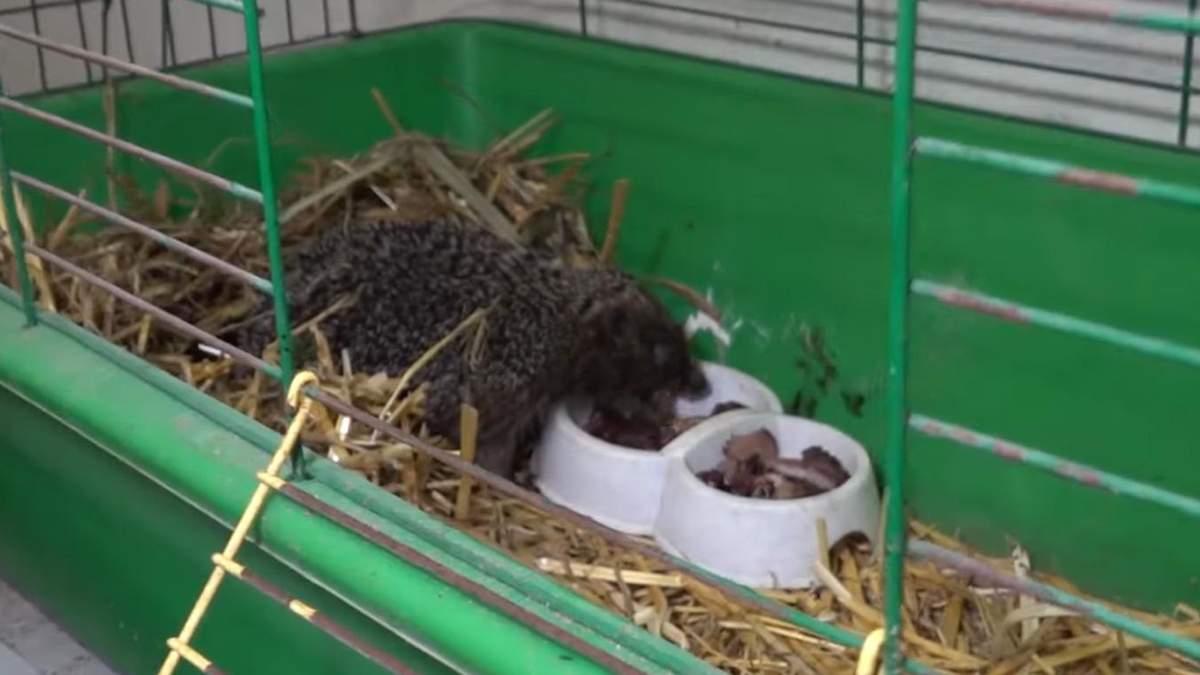 Їжачок прийшов у Одеський зоопарк по допомогу
