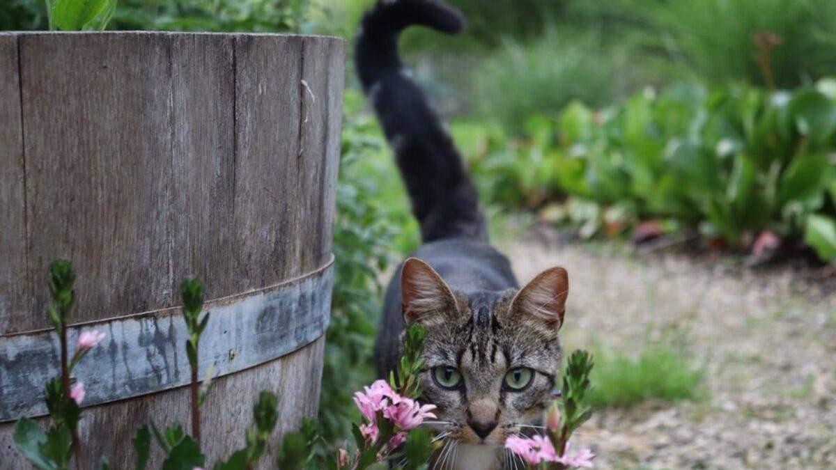 Чому кішка виляє хвостом: 9 несподіваних сигналів котячого тіла