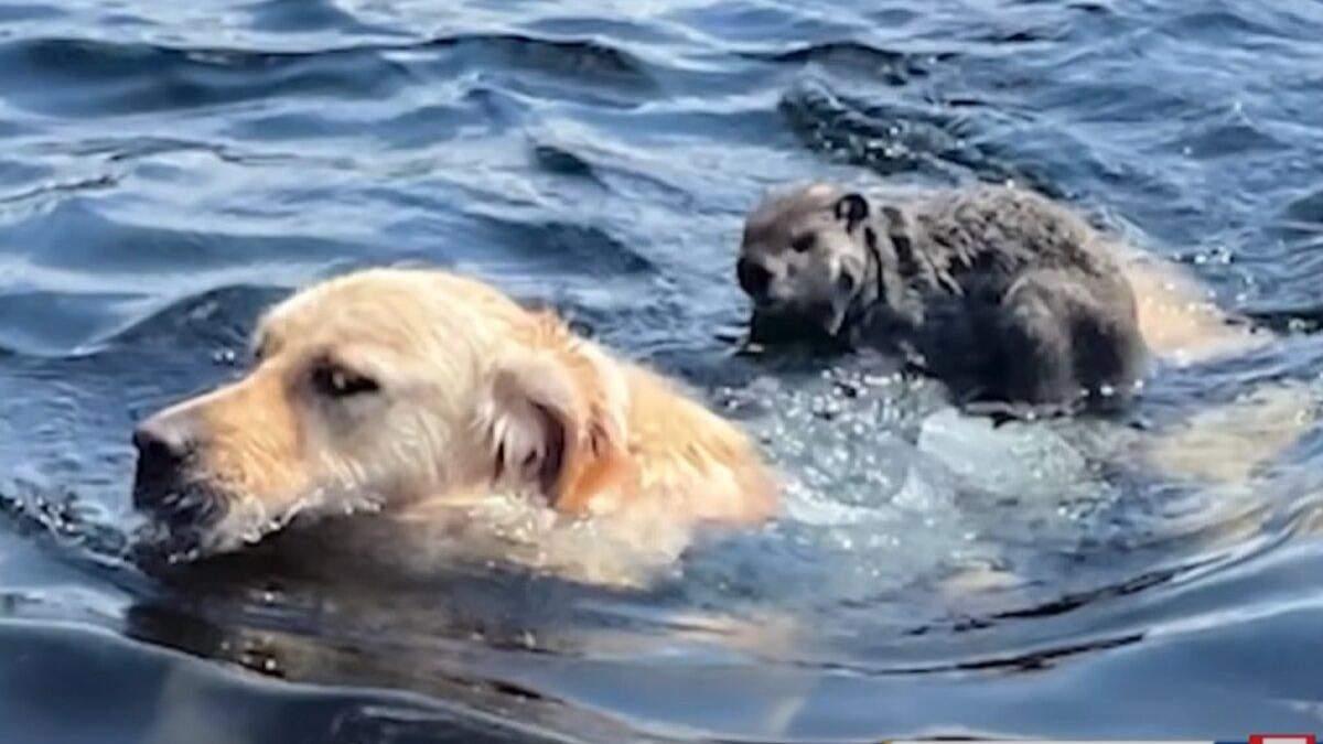 Бабак сів на спину собаки й переплив озеро: кумедне відео