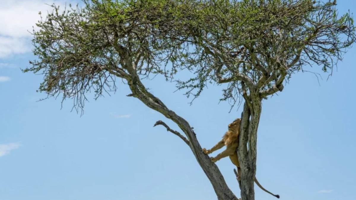 Стадо буйволов в Кении загнало льва на дерево: фото