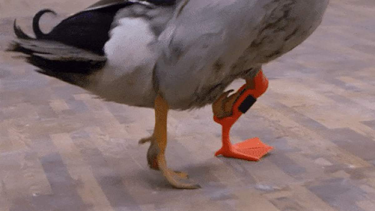 В США утка с инвалидностью получила протез лапки