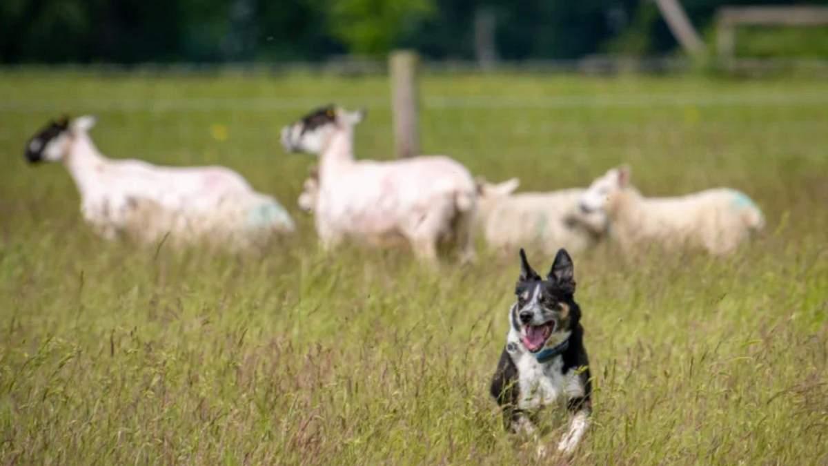 Глуху бордер-коллі навчили мови жестів, щоб вона пасла овець