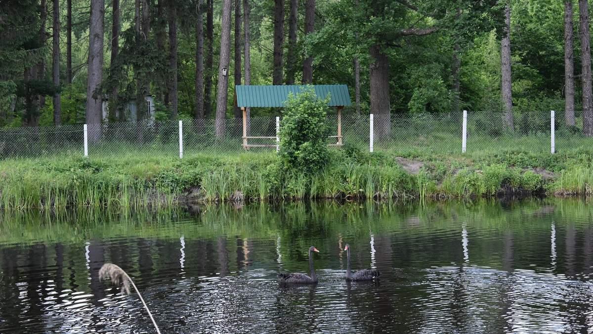У рекреаційному пункті на Житомирщині з'явились чорні лебеді