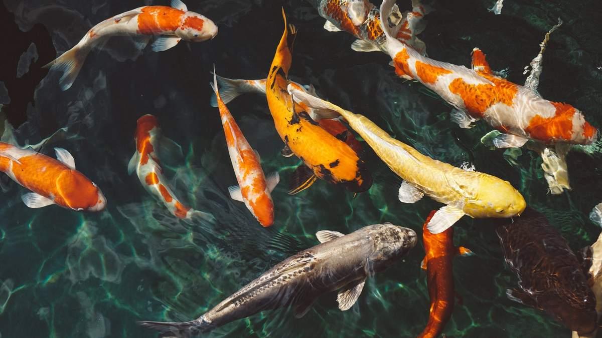 Вчені дослідили, як забруднення води хімікатами може вплинути на риб