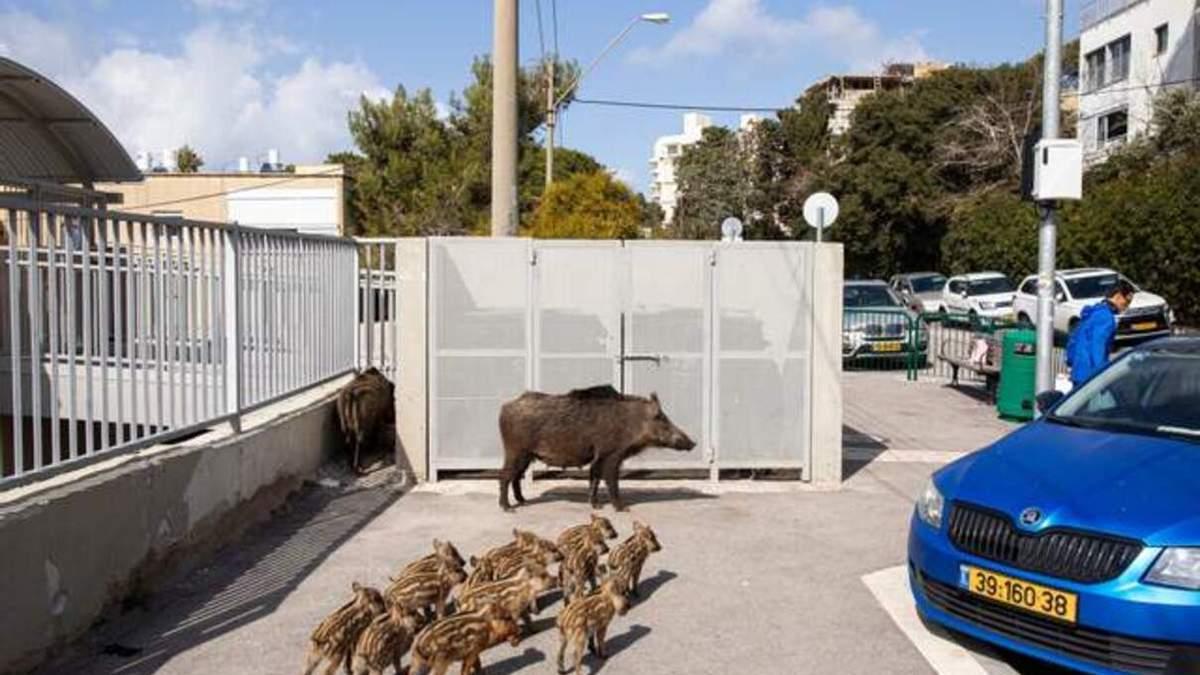 Диких кабанів з міста Хайфа в Ізраїлі хочуть переселити